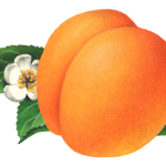 Apricot illustration with a leaf and flower