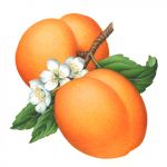 Botanical illustration of two apricots on a branch with leaves and three apricot flowers.
