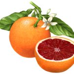 Whole blood orange on a branch with orange blossoms and a cut blood orange half