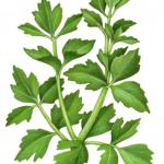 Celery leaves stalk