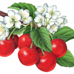 Illustration of seven red sour Montmorency cherries on a branch with cherry blossoms.