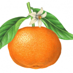 Botanical illustration of a clementine with leaves and a blossom.
