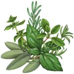 Illustration of Italian Seasoning herbs featuring sage, oregano, rosemary, marjoram, savory and basil