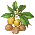Botanical illustration of nutmeg with leaves, flowers, fruit and nuts.