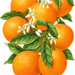 Orange branch with eight oranges, leaves and orange blossoms