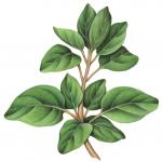 Oregano branch
