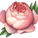 Old-fashioned Victorian style pink peony