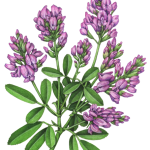 Alfalfa plant with leaves and purple flowers