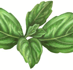 A sprig of basil with four leaves