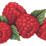 Fruit illustration of four red raspberries with leaves