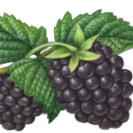 Two blackberries on a stem with three leaves