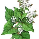 Buckwheat plant with white flowers and buckwheat nuts