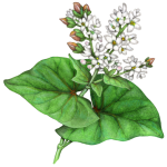 Buckwheat plant with two leaves and a flower cluster with buckwheat nuts