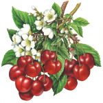 Dark sweet red cherries and blossoms on the branch