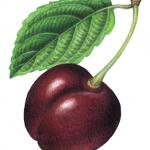 Single black cherry with leaf on a stem.