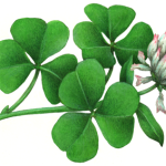 Clover flower with clover leaves