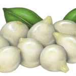 Cocktail onions