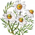 Four chamomile flowers