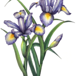 Two blue, purple iris and one iris bud with leaves.