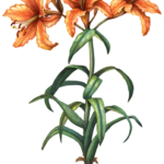 Three orange oriental lilies and two lily buds with leaves and a bulb