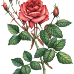 One fully opened red rose with six rose buds and leaves