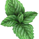 Sprig of mint with six leaves