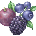 One red grape, one blackberry with three blueberries on a branch.