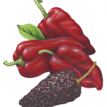 Fresh and dried Ancho peppers