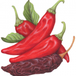 Fresh and dried red guajillo peppers
