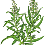 Tarragon plant with flowers and leaves.