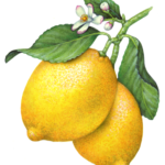Lemon branch with two whole lemons, lemon flowers and leaves.