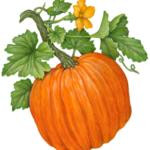 Pumpkin plant with a whole pumpkin, pumpkin flower and leaves.