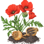 Poppy plant with three flowers, a seed pod and leaves, also with two dried seed pods and poppy seeds.