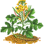Mustard plant with yellow flowers, seed pods and seeds.
