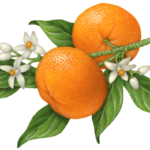 Mandarin orange branch with two mandarin oranges, blossom flowers and leaves.