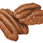 Two shelled pecan halves.