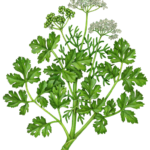 Coriander or cilantro plant with leaves, flowers and seed pods.