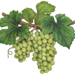 Two green grape clusters on a vine with leaves.