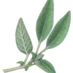 Sprig of sage with four leaves and new buds.