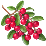 Large branch of lingonberries.