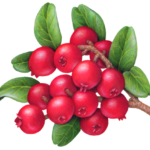 A bunch of lingonberries.
